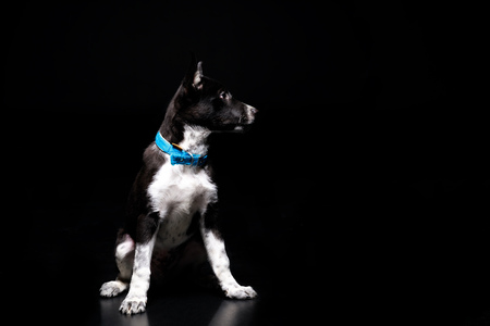 cute mongrel dog in blue collar isolated on black