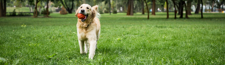 funny golden retriever dog running with ball on green lawn 免版税图像