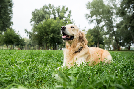 adorable golden retriever dog lying on green lawn in park