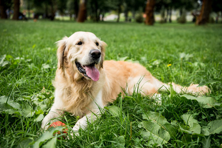 funny golden retriever dog resting on green lawn 免版税图像