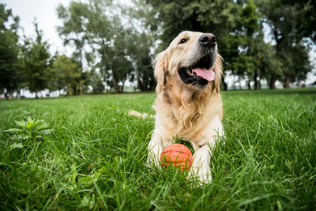 selective focus of cute golden retriever dog lying with rubber ball on green lawn Фото со стока