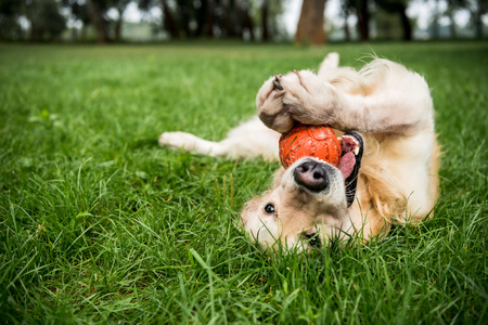 selective focus of golden retriever dog playing with rubber ball on green lawn 免版税图像 - 119522155