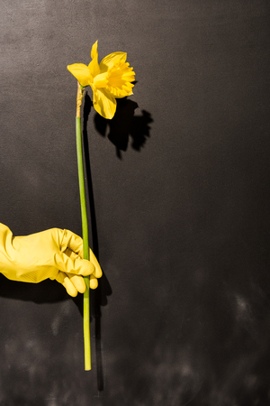 Cropped view of woman in runbber glove holding yellow flower on dark background