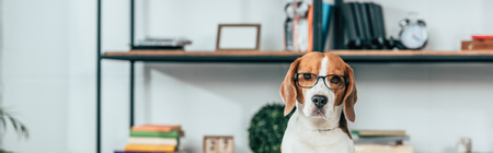 Panoramic shot of beagle dog in glasses looking at camera Stok Fotoğraf