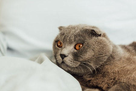 adorable grey scottish fold cat lying in bed at home
