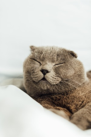 selective focus of cute scottish fold cat sleeping in bed at home