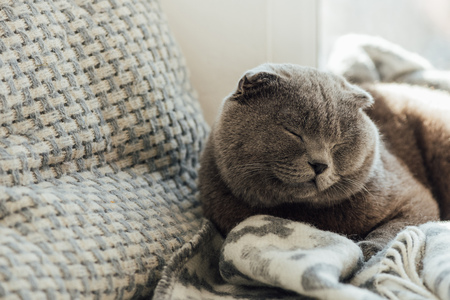 adorable scottish fold cat with blanket lying in bed at home with copy space Stock Photo
