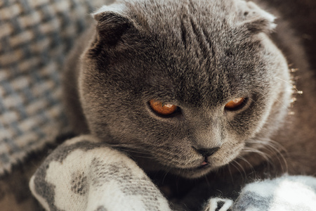 close up of adorable grey scottish fold cat at home