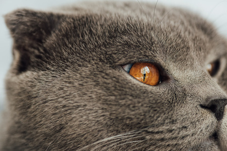 cropped view of adorable scottish fold cat looking away Фото со стока