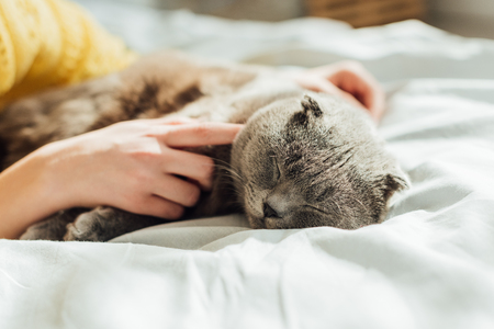partial view of young woman holding scottish fold cat at home