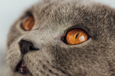 cropped view of adorable grey scottish fold cat looking away