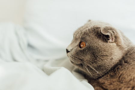 selective focus of scottish fold cat lying in bed with copy space