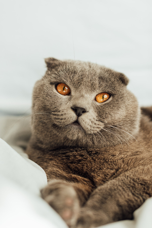 selective focus of adorable grey scottish fold cat lying in bed and looking away