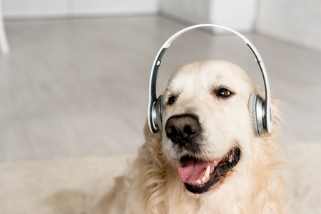 cute golden retriever listening music in headphones in apartment
