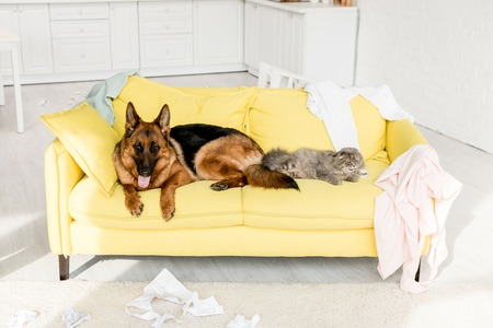 cute and grey cat and dog lying on yellow sofa in messy apartment Stockfoto