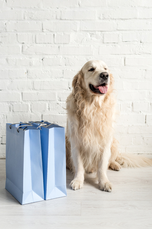 cute golden retriever sitting with blue shopping bags in apartment Foto de archivo - 120073370