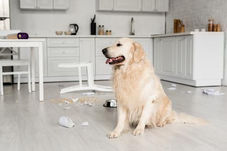 cute golden retriever sitting on floor in messy kitchen