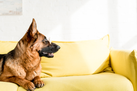 side view of cute German Shepherd in glasses lying on bright yellow couch in apartment
