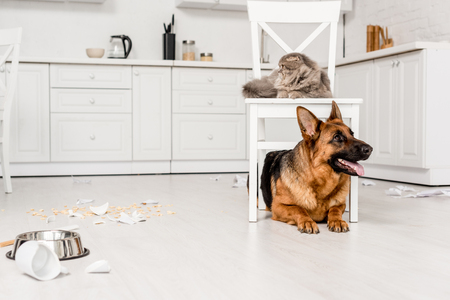 cute German Shepherd lying on floor and grey cat lying on chair in messy kitchen 版權商用圖片 - 120076252
