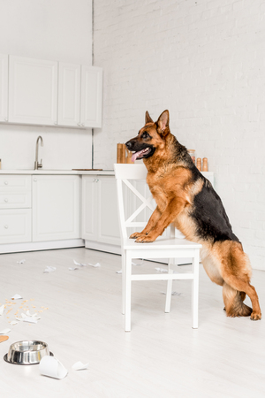 side view of cute German Shepherd standing on white chair in messy kitchen