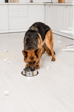 cute German Shepherd eating dog food from metal bowl in messy kitchen Stock Photo