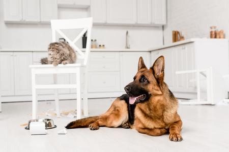 Selektiver Fokus des Deutschen Schäferhundes, der auf dem Boden liegt, und der grauen Katze, die auf dem Stuhl in der unordentlichen Küche liegt Standard-Bild