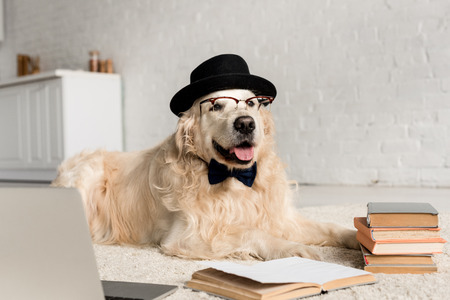 cute golden retriever in bow tie, glasses and hat lying on floor with laptop and books