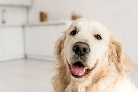 funny, adorable, cute golden retriever looking at camera Imagens