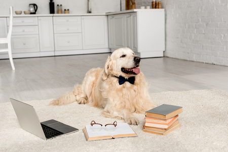 cute golden retriever in bow tie lying on floor with laptop and books Stock Photo