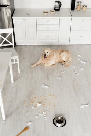 cute golden retriever lying on floor in messy kitchen