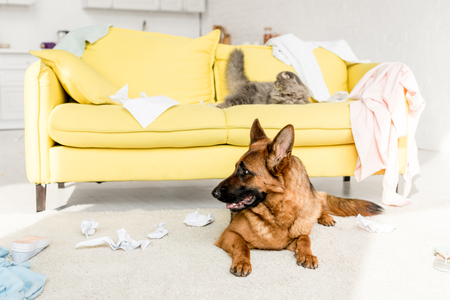 cute and grey cat lying on yellow sofa and German Shepherd lying on floor in messy apartment