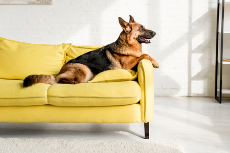 side view of cute German Shepherd lying on bright yellow sofa in apartment