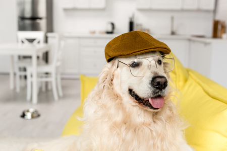cute golden retriever in cap and glasses lying looking away