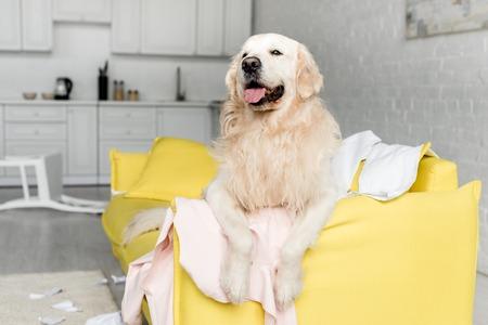 Süßer Golden Retriever liegt auf gelbem Sofa in unordentlicher Wohnung Standard-Bild