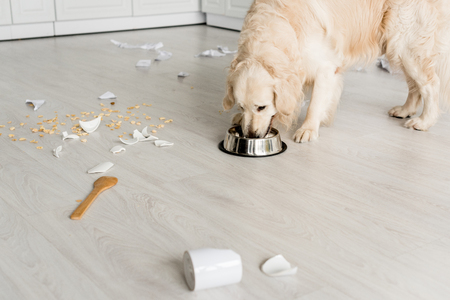 cute golden retriever eating dog food from metal bowl in messy kitchen