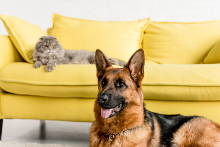 selective focus of cute German Shepherd and grey cat lying on couch