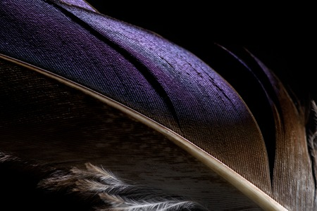 close up of lightweight purple and brown soft textured feather isolated on black