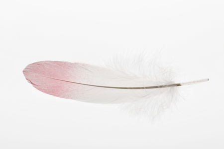 soft and lightweight feather with pink and white gradient isolated on white Фото со стока