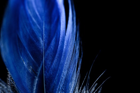 close up of electric blue soft textured feather isolated on black Фото со стока