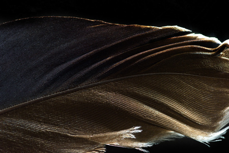 close up of brown lightweight textured feather isolated on black