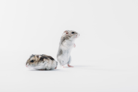 two grey fluffy hamsters on grey background with copy space