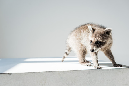 adorable furry, funny raccoon in sunshine on grey background Banque d'images - 120953445