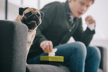 selective focus of adorable pug dog near man taking tissue from tissue box Фото со стока