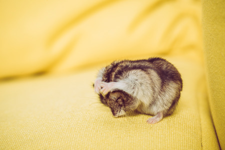 Adorable grey fluffy hamster washing himself on yellow surface
