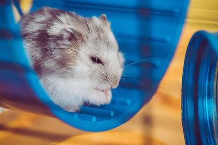 Selective focus of adorable hamster sitting in blue plastic wheel in sunshine Zdjęcie Seryjne