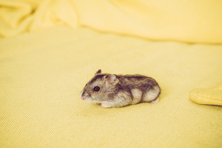Adorable grey furry hamster sitting on yellow textured background