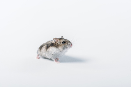 Adorable grey fluffy hamster on grey background with copy space Zdjęcie Seryjne