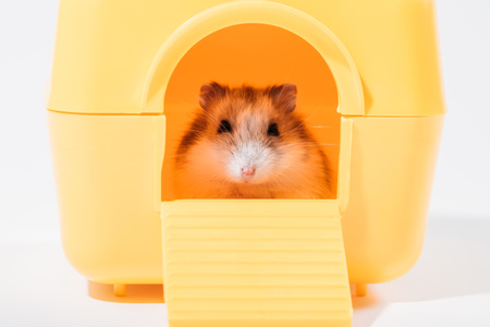 Adorable funny hamster sitting in yellow pet house and looking at camera on grey background Zdjęcie Seryjne