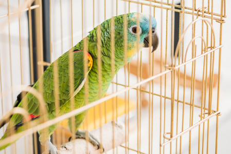 Selective focus of bright green parrot sitting in bird cage