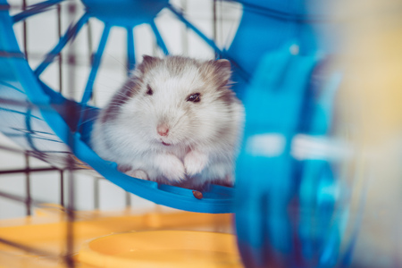 Selective focus of cute furry hamster sitting in blue plastic wheel Zdjęcie Seryjne